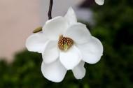 玉兰花图片(17张)