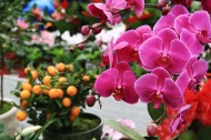 红色蝴蝶兰图片(9张)
