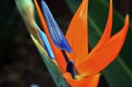 高雅鹤望兰花卉图片(17张)