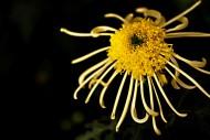菊花图片(16张)
