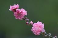 阳光下的桃花图片(10张)
