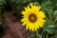 金黄色的向日葵图片(11张)