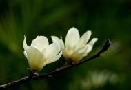白色和粉色的玉兰花图片(15张)