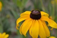 黄色黑心菊图片(8张)