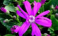 瓜叶菊花卉图片(9张)