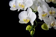 白色蝴蝶兰图片(15张)