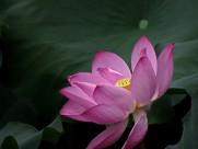 妩媚的粉色荷花图片(12张)