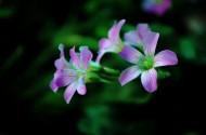 酢浆草花卉图片(15张)