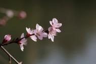 桃花图片(11张)