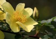 黄色刺玫花图片(11张)