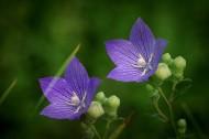 紫色桔梗花图片 (9张)