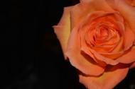 浪漫的玫瑰花图片(10张)
