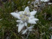 雪绒花图片(13张)