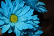 忧伤的蓝色菊花图片(13张)