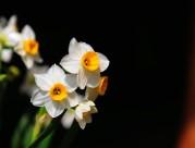 洁白的水仙花图片(11张)