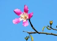 紫荆花图片   (9张)