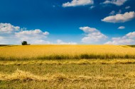蓝色天空下金黄色的麦田图片(6张)