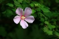 木槿花图片(7张)