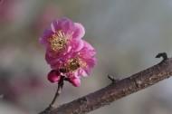 粉色梅花图片(16张)