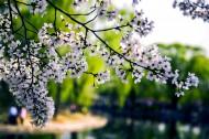 樱花图片(7张)