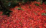 满地红叶图片(13张)