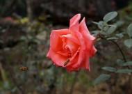 艳丽玫瑰花图片(12张)