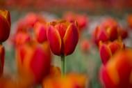 艳丽的郁金香图片(11张)