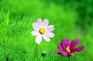 清新波斯菊花卉图片(14张)