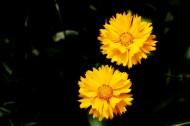黄色金鸡菊图片(10张)