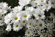 洁白的雏菊图片(23张)
