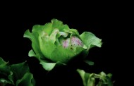奇异的绿色月季花图片(5张)