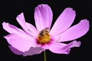 粉色波斯菊图片(19张)