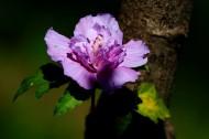 木槿花图片(8张)