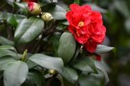 红山茶花图片(8张)