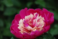 芍药花卉图片(14张)