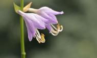 紫色的玉簪花图片(12张)