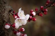 纯洁的杏花图片(14张)