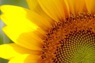 超大清晰向日葵图片(93张)