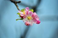 粉色海棠花图片(7张)