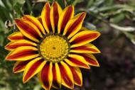 勋章菊花卉图片(13张)
