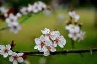 白色梅花图片(9张)