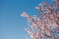 美丽的樱花图片(14张)