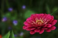 红色小野花图片(9张)