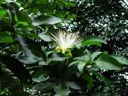 瓜栗植物图片(6张)