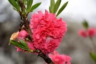 红色桃花图片(18张)