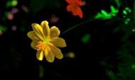 橙色格桑花图片(10张)