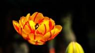 多姿多彩的郁金香图片(11张)