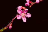 粉红色桃花图片(8张)