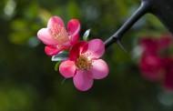 海棠花图片(8张)