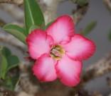 漂亮的红色夹竹桃图片(13张)